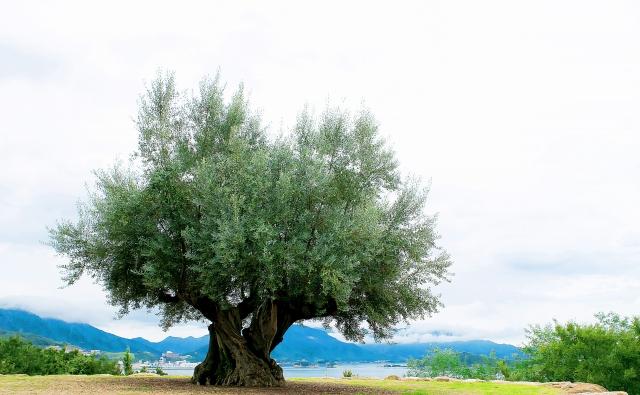 樹齢1000年のオリーブの木