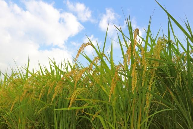 田んぼのお米