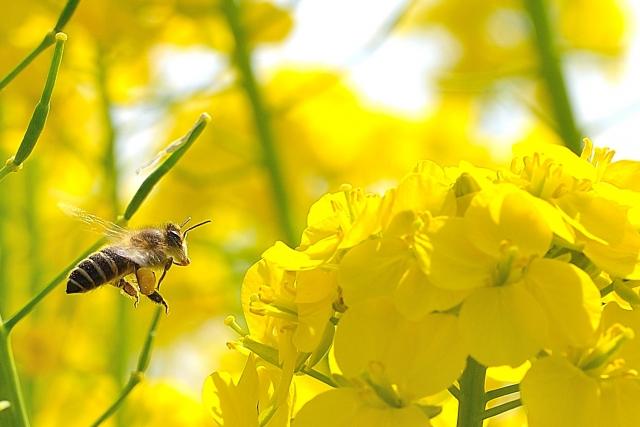 蜜蜂、みつばち